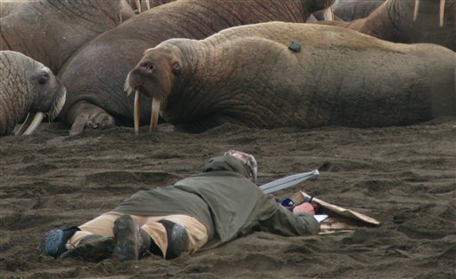In this Sept. 7, 2010 picture provided by the U.S. Geological Survey, USGS Wildlife Biologist Tony Fischbach lies on the beach observing a tagged walrus near Point Lay, Alaska. Tens of thousands of walruses have come ashore in northwest Alaska because the sea ice they normally rest on has melted. Federal scientists say this massive move to shore by walruses is unusual in the United States. (AP Photo/U.S. Geological Survey)