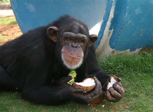 A chimpanzee eats a coconut at the Alamogordo Primate Facility at Holloman Air Force Base, N.M., in this undated handout photo provided by the National Institutes of Health. The agency's decision to move 186 chimpanzees to Texas is pitting government officials and scientists against a coalition of New Mexico elected officials and animal rights advocates. (AP Photo/Alamogordo Primate Facility) NO SALES
