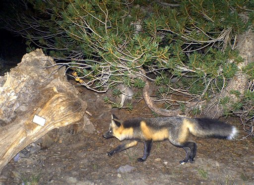 In this photo taken Monday, Sept. 6, 2010 and provided by the U.S. Forest Service, a red fox is seen after it was photographed with a remote camera north of Yosemite National Park . Once thought to be extinct, federal wildlife biologists have sighted two more rare Sierra Nevada red foxes they believe are related to one that was photographed this summer near Yosemite National Park. (AP photo/U.S. Forest Service )