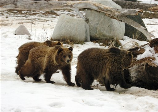 Members of the public get an early look at one of three new grizzly bears at ZooMontana in Billings, Mont. on Friday, Dec. 17,2010. The bears were captured from the wild after their mother led them on a summer rampage through a Montana campground that left one person dead and two injured. (AP Photo/Matthew Brown)
