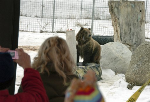 A young grizzly bear rubs against a rock at ZooMontana in Billings, Mont. on Friday Dec. 17, 2010. The bears were given to the zoo after their mother led the animals on a summer rampage through a Montana campground that killed one person and injured two more. (AP Photo/Matthew Brown)