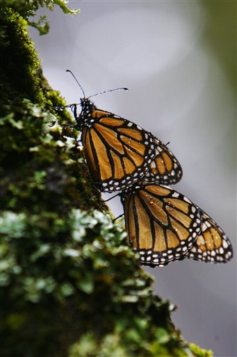 FILE - In this Nov. 25, 2007 file photo a couple of monarch butterflies perch on a tree at the Monarch Butterfly Biosphere Reserve in the central Mexican town of Cerro Prieto. On Monday Feb. 14, 2011, the conservation group World Wildlife Federation Mexico released a report stating that there is a partial recovery in the annual winter migration of Monarch butterflies to Mexico following a devastating 75 percent drop last year. (AP Photo/Miguel Tovar, file)
