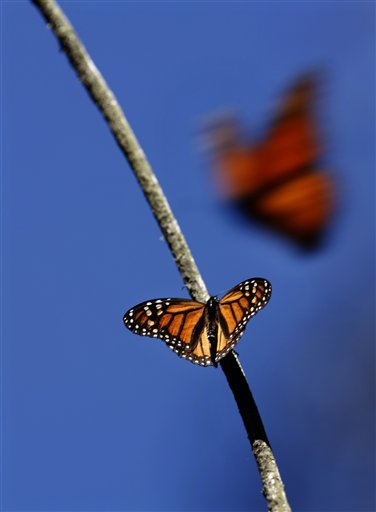 FILE - In this Feb. 26, 2009 file photo a Monarch butterfly perches on a tree branch as another takes flight at the Monarch Butterfly Biosphere Reserve, near the town of Chincua, Mexico. On Monday Feb. 14, 2011, the conservation group World Wildlife Federation Mexico released a report stating that there is a partial recovery in the annual winter migration of Monarch butterflies to Mexico following a devastating 75 percent drop last year. (AP Photo / Marco Ugarte, file)