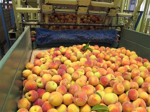 In this Friday, July 29, 2011, photo, peaches roll across a conveyer belt at Titan Farms in Ridge Spring, S.C. The farm is benefiting from an agreement allowing U.S. farmers to sell peaches in Mexican grocery stores for the first time since 1994. (AP Photo/Jeffrey Collins)